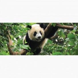 Fototapeta - PA5085 - Panda