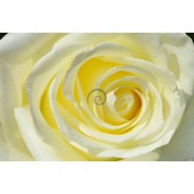 Fototapeta na stenu - FT0128 - Žltobiela ruža