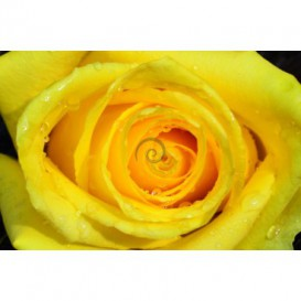 Fototapeta na stenu - FT0129 - Žltá ruža