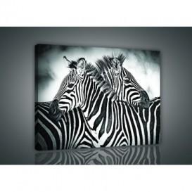 Obraz na plátne obdĺžnik - OB0951 - Zebry