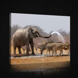 Obraz na plátne obdĺžnik - OB0955 - Slon a zebry