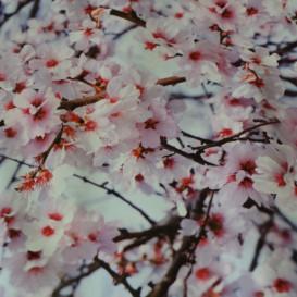 PVC obrus Čerešňové kvety š.137cmx1m