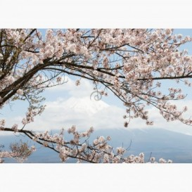 Fototapeta - FT6801 - Čerešňové kvety a sopka Fuji
