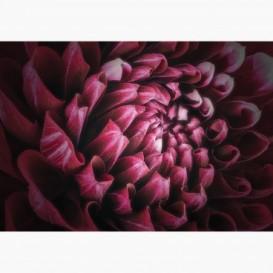 Fototapeta - FT7105 - Ružový kvet dahlia
