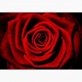Fototapeta - FT7337 - Červená ruža